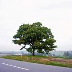 セブンスターの木。