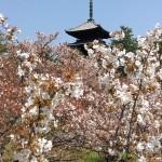 [京都・桜]御室桜で有名な、京都仁和寺。遅咲きの御室桜がきれいです。