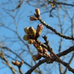 近所のさくらの様子。まだまだ桜のつぼみは硬そうです。
