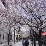 [京都・桜]祇園白川、ここの桜並木もぜひ。町屋・白川・巽橋・舞妓さん、京都のすべてが楽しめるスポットです。
