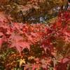 [紅葉予想] 今年は色鮮やかな紅葉が期待できそう!見頃は平年よりちょっと遅め?