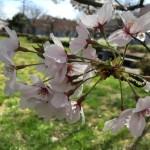 小松市の小・中学校の入学式が4月6日に変更になりました。お気をつけください。