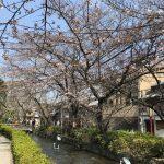 京都でのさくらのおすすめスポット「木屋町高瀬川」。川面に映るさくらがきれいです。