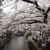 [京都・桜]京都・木屋町通りの桜並木。桜がとってもきれいな穴場的な桜スポットです!